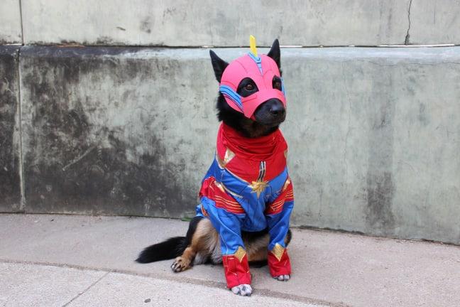 Portfolio Merly The Cosplay Dog Marvel marvel captain america pet costume. merly the cosplay dog